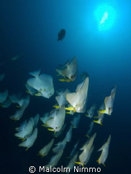 Batfish ... by Malcolm Nimmo