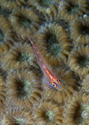 Goby on coral.. Lembeh straits. D200, 105mm. by Derek Haslam