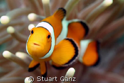 I could spend my entire dive taking pictures of these guy... by Stuart Ganz