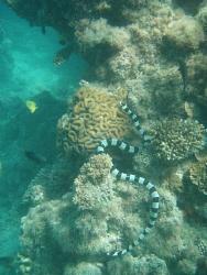 sea snake on the reef nuku'alofa taken with olympus 720 by Trevor Byett