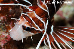 Lionfish by night at Tapu.D50/105mm (Borabora) by Moeava De Rosemont