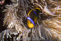 Anemonefish-Palau by Richard Goluch
