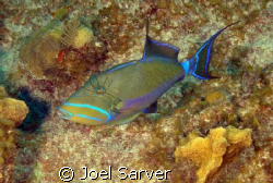 Queen Trigger Fish Olympus 350 with Ikelite Housing and ... by Joel Sarver