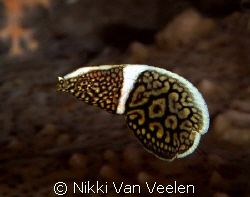 Juvenile lined wrasse taken at Shark Observatory, Ras Moh... by Nikki Van Veelen