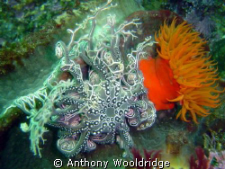 A basket star and an anemone at Fort Raggie, Port Elizabe... by Anthony Wooldridge
