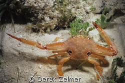 Ocellate swimming crab directing traffic. Graham's Harbor... by Derek Zelmer
