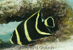 Juvenile French Angelfish by Richard Goluch