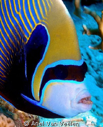 Emperor angelfish taken with Olympus SP350. by Anel Van Veelen