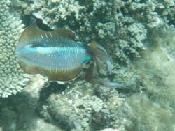 cuttle fish nuku'alofa harbour reef tongatapu very friendly by Trevor Byett