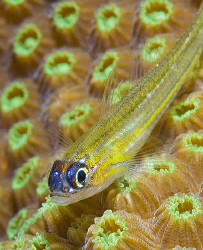 Peppermint Goby in Bonaire. Nikon D200 with 105mm lens.  by Jim Chambers