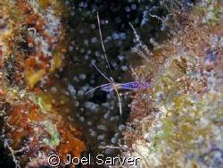 cleaner shrimp with a blue anenome below.... Olympus SP3... by Joel Sarver