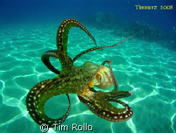 Day Octopus out for a swim.  i took this photo @ Honokawa... by Tim Rollo