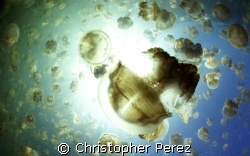 Jellyfish Army, jellyfshlake, palau,  chrisperez by Christopher Perez