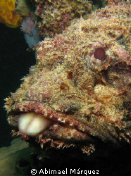 The Jester Scorpionfish by Abimael Márquez