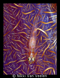 Goby on soft coral taken at Shark Observatory with E300 a... by Nikki Van Veelen