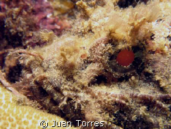 It seem like scorpionfishes are in.  This one took the re... by Juan Torres