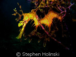 Dragon in the Weeds.  Leafy Sea Dragon, taken in S. AUS. ... by Stephen Holinski