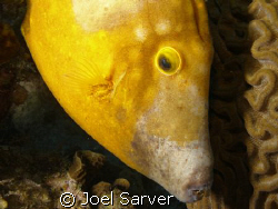 spotted file fish Olympus SP350 with dual strobes by Joel Sarver