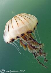 Compass jellyfish. Little Killary, Connemara. 10.5mm by Mark Thomas
