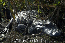 I named this gator Leroy Brown because he is the biggest ... by Ray Eccleston