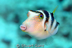 Crowned Toby, This fish is common on the Hawaiian reef an... by Stuart Ganz
