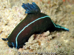 Black nudibranch taken on the Haerlem in Port Elizabeth. ... by Anthony Wooldridge