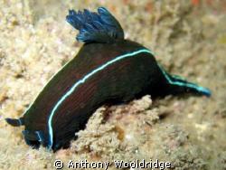 Black nudibranch taken on the Haerlem in Port Elizabeth. ... by Anthony Wooldridge