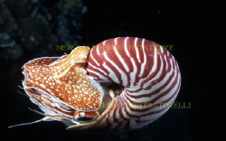 Nautilus pompilius. Taken at LIFOU island, New Caledonia... by Antonio Pastorelli