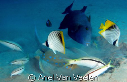 """Blue spotted ray and """"friends"""" grazing in the sand for fo... by Anel Van Veelen"""