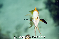 slingjaw wrasse (epibulus insidiator) taken at Shark reef... by Stephan Kerkhofs