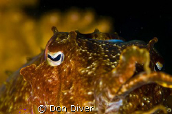 Cuttlefish, This is a shot I took one day in Manila chann... by Don Diver