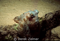 Caribbean Reef Octopus, Government Dock, San Salvador Island by Derek Zelmer