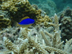 one of most vivid fish on the reef always brightens up th... by Trevor Byett