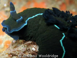 Black Nudibranch closeup, ISO100 1/60 F2.6 by Anthony Wooldridge