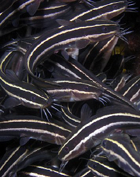 Juvenile striped catfish, Bare Island by Doug Anderson