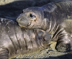 baby elephant seals beach near hurst castle central calif... by Victor Zucker