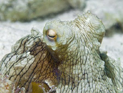 This little octopus on Bonaire was about the size of my h... by Jim Chambers