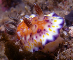 Chromodoris collingwoodi, Clovelly by Doug Anderson