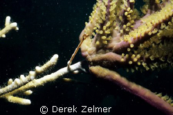 Slow motion battle. Branched fire coral (Millepora alcico... by Derek Zelmer