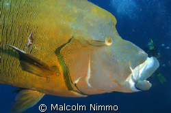 Nice wrasse !!! by Malcolm Nimmo