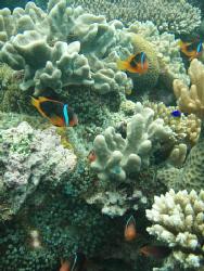Nemo colony - Nuku'alofa harbour by Trevor Byett
