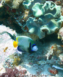 Emperor angel fish of the Indian Ocean photographed in th... by Karen Christopher