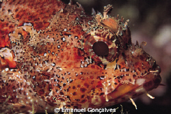 Scorpaena maderensis (Rockfish), Azores (Portugal), Nikon... by Emanuel Gonçalves