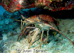 Two huge lobsters at Sail Rock, St. Thomas by Juan Torres