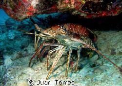Two huge lobsters at Sail Rock, St. Thomas by Juan Torres