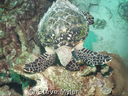 Hawksbill Turtle looking for some plants to eat in the An... by Steve Myler