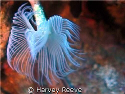 WHITE TUFTED WORM by Harvey Reeve