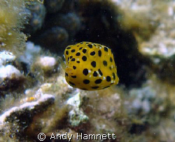 Baby Boxfish in Safaga, Egypt. About as big as my little ... by Andy Hamnett