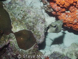 Smooth Trunkfish by Steve Myler