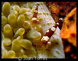 Squat Anemone Shrimps. Puerto Rico, Canon G7. by Juan Torres